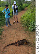 Купить «Galapagos Land Iguana (Conolophus subcristatus) on a path being photographed by Lisa & Mimmi Widstrand. Baltra, Galapagos, Ecuador. Model released», фото № 25303540, снято 16 февраля 2019 г. (c) Nature Picture Library / Фотобанк Лори