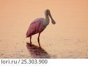 Купить «Roseate Spoonbill (Platalea ajaja) adult in non-breeding plumage standing in shallow water. Dunedin, Florida, USA, November.», фото № 25303900, снято 25 марта 2019 г. (c) Nature Picture Library / Фотобанк Лори