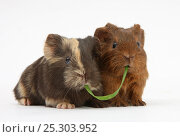 Купить «Two baby guinea pigs sharing a piece of grass.», фото № 25303952, снято 19 октября 2019 г. (c) Nature Picture Library / Фотобанк Лори