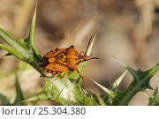 Купить «Shield Bug / Stink Bug (Carpocoris pudicus) on a Spiny Sow Thistle (Sonchus asper) leaf. Zadar province, Croatia, July.», фото № 25304380, снято 23 мая 2018 г. (c) Nature Picture Library / Фотобанк Лори