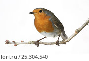 Купить «European Robin (Erithacus rubecula) perched on a twig against a white background. UK, September.», фото № 25304540, снято 26 марта 2019 г. (c) Nature Picture Library / Фотобанк Лори