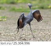 Купить «Blue Crane (Anthropoides paradiseus) performing its dance display. Etosha National Park, Namibia, January.», фото № 25304996, снято 26 марта 2019 г. (c) Nature Picture Library / Фотобанк Лори