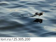 Купить «White-Vented / Elliot's Storm Petrel (Oceanites gracilis) gliding and skipping over calm water. Fernandina Island, Punta Espinosa, Galapagos, Ecuador, April.», фото № 25305200, снято 17 сентября 2019 г. (c) Nature Picture Library / Фотобанк Лори