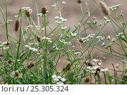 Купить «Spreading hedge-parsley (Torilis arvensis) flowering on field verge, Sussex, UK, July», фото № 25305324, снято 19 августа 2018 г. (c) Nature Picture Library / Фотобанк Лори
