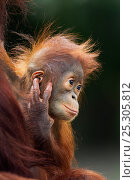 Купить «Bornean Orangutan (Pongo pygmaeus wurmbii) male baby 'Thor' aged 8-9 months sitting with his mother 'Tutut' - portrait. Camp Leakey, Tanjung Puting National...», фото № 25305812, снято 20 августа 2019 г. (c) Nature Picture Library / Фотобанк Лори