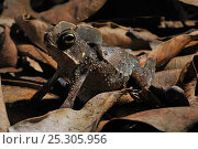 Crested Forest Toad (Rhinella margaritifer) camouflaged against leaf-litter. Controlled conditions. French Guyana, August. Стоковое фото, фотограф Daniel Heuclin / Nature Picture Library / Фотобанк Лори
