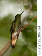 Купить «Buff-tailed Coronet hummingbird (Boissonneaua flavescens) perching on a feeder. Mindo cloudforest, west slope of the Andes, Ecuador.», фото № 25306024, снято 19 октября 2019 г. (c) Nature Picture Library / Фотобанк Лори