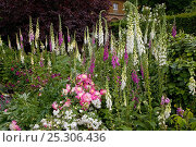 Купить «Common foxgloves (Digitalis purpurea) flowering in the garden of Houghton Hall, Norfolk, UK», фото № 25306436, снято 18 октября 2019 г. (c) Nature Picture Library / Фотобанк Лори