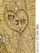 Купить «Heart shape and initials engraved into the bark of tree, Beacon Hill Country Park, The National Forest, Leicestershire, UK. November», фото № 25306480, снято 17 июля 2018 г. (c) Nature Picture Library / Фотобанк Лори