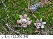 Купить «Eartstar fungi (Geastrum triplex) growing amongst moss, Holkham, Norfolk, UK», фото № 25306548, снято 15 ноября 2018 г. (c) Nature Picture Library / Фотобанк Лори