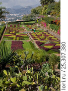 Купить «Bedding plants and cacti in the Botanic gardens, Funchal, Madeira, Portugal», фото № 25307380, снято 16 июля 2018 г. (c) Nature Picture Library / Фотобанк Лори