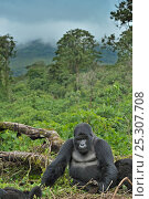 Купить «Portrait of a Mountain Gorilla (Gorilla beringei) with a view over forest canopy. Rwanda, Africa, March.», фото № 25307708, снято 19 сентября 2018 г. (c) Nature Picture Library / Фотобанк Лори