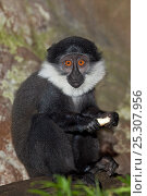 Купить «Young L'Hoest's Monkey (Cercopithecus lhoesti) with food. Endangered species. Occurs Burundi, Uganda, Rwanda, DR Congo.», фото № 25307956, снято 20 января 2020 г. (c) Nature Picture Library / Фотобанк Лори