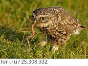 Купить «Little Owl (Athene noctua) adult with a worm in its beak. Wales, UK, June. (non-ex).», фото № 25308332, снято 26 марта 2019 г. (c) Nature Picture Library / Фотобанк Лори