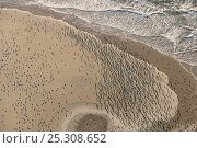 Купить «Aerial view of a dense flock of Great Cormorants (Phalacrocorax carbo) resting on a sandbank at Scroby Sands along with a mixed species flock of gulls...», фото № 25308652, снято 17 октября 2018 г. (c) Nature Picture Library / Фотобанк Лори