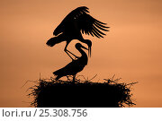 Купить «Breeding pair of White Stork (Ciconia ciconia) mating on nest. The Netherlands, April.», фото № 25308756, снято 20 мая 2019 г. (c) Nature Picture Library / Фотобанк Лори