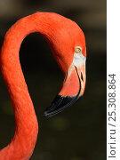 Купить «Caribbean / American Flamingo (Phoenicopterus ruber) head in profile. Captive. Florida, USA, October.», фото № 25308864, снято 20 августа 2019 г. (c) Nature Picture Library / Фотобанк Лори