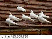 Купить «White Fantail pigeons (Columba sp) on tiles roof, UK», фото № 25308880, снято 7 сентября 2018 г. (c) Nature Picture Library / Фотобанк Лори