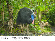 Купить «Southern / Double-Wattled Cassowary (Casuarius casuarius) male with three chicks in forest habitat. The male raises young alone. Atherton Tablelands, Queensland, Australia.», фото № 25309000, снято 14 ноября 2019 г. (c) Nature Picture Library / Фотобанк Лори