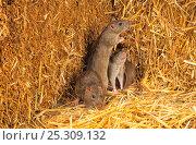 Купить «Brown rats (Rattus norvegicus) amongst straw bales, Norfolk, UK», фото № 25309132, снято 16 октября 2018 г. (c) Nature Picture Library / Фотобанк Лори