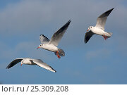 Купить «Three Black-headed gulls (Chroicocephalus ridibundus) in flight, winter plumage, Norfolk, UK», фото № 25309208, снято 20 июля 2018 г. (c) Nature Picture Library / Фотобанк Лори