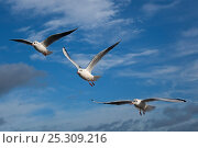 Купить «Three Black-headed gulls (Chroicocephalus ridibundus) in flight, winter plumage, Norfolk, UK», фото № 25309216, снято 20 июля 2018 г. (c) Nature Picture Library / Фотобанк Лори