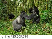 Купить «A silverback dominant male Mountain Gorilla (Gorilla beringei) interacting with a subordinate  in habitat. Rwanda, Africa», фото № 25309396, снято 17 ноября 2019 г. (c) Nature Picture Library / Фотобанк Лори