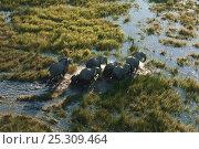 Купить «Aerial view of herd of African elephants (Loxodonta africana) wading through water, Okavango delta, Botswana, July», фото № 25309464, снято 6 декабря 2019 г. (c) Nature Picture Library / Фотобанк Лори