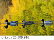 Купить «Two Mallard drakes (Anas platyrhynchos) and a duck swim on ornamental lake, reflected in the water along with golden colours of autumn leaves, Wiltshire, UK, October», фото № 25309916, снято 12 декабря 2017 г. (c) Nature Picture Library / Фотобанк Лори