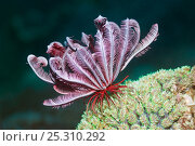 Crinoid or Featherstar (Crinoidea sp.). Indonesia, October. Стоковое фото, фотограф Georgette Douwma / Nature Picture Library / Фотобанк Лори