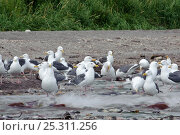 Купить «Gulls feeding on Salmon (Salmonidae) migrating to spawn in Lake Kuril, Kamchatka, Far East Russia, August», фото № 25311256, снято 23 мая 2019 г. (c) Nature Picture Library / Фотобанк Лори