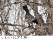Купить «Capercaillie (Tetrao urogallus) male displaying perched in Birch tree at lek, Kamchatka, Far east Russia, May», фото № 25311364, снято 26 июня 2019 г. (c) Nature Picture Library / Фотобанк Лори