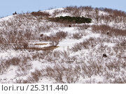 Купить «Several Kamchatka brown bears (Ursus arctos beringianus) on snowy hillside, Kamchatka, Far east Russia, May», фото № 25311440, снято 22 сентября 2018 г. (c) Nature Picture Library / Фотобанк Лори