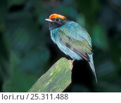 Купить «Blue manakin (Chiroxiphia caudata) male, captive, from South America», фото № 25311488, снято 26 марта 2019 г. (c) Nature Picture Library / Фотобанк Лори