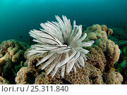 Купить «Fan worm / feather duster worm (Sabellastarte indica) on coral. Lembeh Strait, North Sulawesi, Indonesia», фото № 25311840, снято 25 сентября 2018 г. (c) Nature Picture Library / Фотобанк Лори