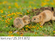 Купить «Black-tailed Prairie Dogs (Cynomys ludovicianus), two young animals interacting, Wichita Mountains National Wildlife Refuge, Oklahoma, USA», фото № 25311872, снято 14 августа 2018 г. (c) Nature Picture Library / Фотобанк Лори