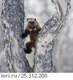 Купить «Wolverine (Gulo gulo) climbing birch tree, Kamchatka, Far East Russia, April», фото № 25312200, снято 24 июня 2019 г. (c) Nature Picture Library / Фотобанк Лори