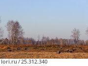 Купить «Black grouse (Tetrao tetrix) males displaying at lek, Kurgan province, southern Russia, May», фото № 25312340, снято 17 октября 2018 г. (c) Nature Picture Library / Фотобанк Лори