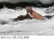 Купить «Kamchatka Brown bear (Ursus arctos beringianus) emerging from river with caught salmon, Kamchatka, Far east Russia, July», фото № 25312400, снято 24 июня 2019 г. (c) Nature Picture Library / Фотобанк Лори
