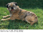 Domestic dog, Border Terrier, lying down on grass. Стоковое фото, фотограф Yves Lanceau / Nature Picture Library / Фотобанк Лори