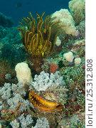 Купить «Thorny oyster (Spondylus varians / varius) and featherstar on coral reef, Misool, Raja Ampat, West Papua, Indonesia, January», фото № 25312808, снято 18 сентября 2018 г. (c) Nature Picture Library / Фотобанк Лори