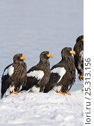 Купить «Steller's sea eagle (Haliaeetus pelagicus) four eagles beside Lake Kuril, Kamchatka, Far East Russia, January», фото № 25313156, снято 18 октября 2019 г. (c) Nature Picture Library / Фотобанк Лори