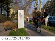 Pedestrian and cyclist observe Wild boars (Sus scrofa) on the curb of Argentinische Allee, Berlin, Germany, March 2007. Стоковое фото, фотограф Florian Möllers / Nature Picture Library / Фотобанк Лори
