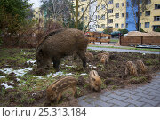 Wild boar (Sus scrofa) sow and seven piglets foraging in city garden, beside road, Berlin, Germany, March. Стоковое фото, фотограф Florian Möllers / Nature Picture Library / Фотобанк Лори
