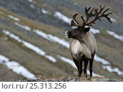 Купить «Caribou /Reindeer (Rangifer tarandus) on hillside, Kamchatka, Far east Russia, September», фото № 25313256, снято 23 июля 2019 г. (c) Nature Picture Library / Фотобанк Лори