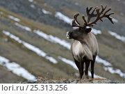Купить «Caribou /Reindeer (Rangifer tarandus) on hillside, Kamchatka, Far east Russia, September», фото № 25313256, снято 16 июля 2019 г. (c) Nature Picture Library / Фотобанк Лори