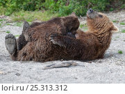 Купить «Kamchatka Brown bear (Ursus arctos beringianus)  mother rolling over on back for baby to suckle, Kamchatka, Far east Russia, August», фото № 25313312, снято 26 мая 2019 г. (c) Nature Picture Library / Фотобанк Лори