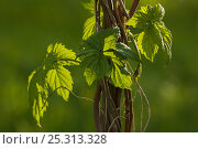 Купить «Leaves, tendrils and stems of a climbing plant, Berlin, Germany, May», фото № 25313328, снято 17 августа 2018 г. (c) Nature Picture Library / Фотобанк Лори