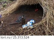 Купить «Bower of Vogelkop Bowerbird (Amblyornis inornata) with bower decorations including plastic and battery casings. Nov 2004», фото № 25313524, снято 19 июля 2018 г. (c) Nature Picture Library / Фотобанк Лори