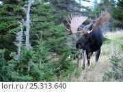 Купить «Moose (Alces alces) head portrait of bull, Cap Breton Highlands National Park, Nova Scotia, Canada, September», фото № 25313640, снято 17 октября 2018 г. (c) Nature Picture Library / Фотобанк Лори